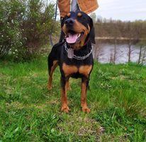Pies duży , czarny, podpalany na łące  z przyjaznym- uśmiechniętym  wyrazem pyska.